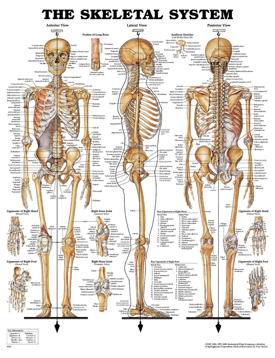 The skeletal system includes all of the bones and joints in the body ...
