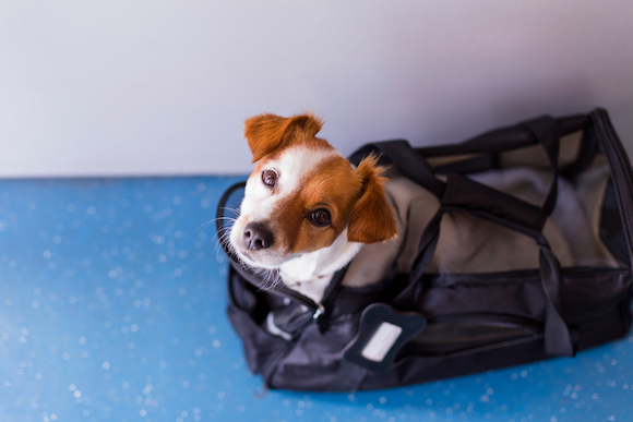 A Look at Therapy Pet Rules by Airline Dog travel, Cute
