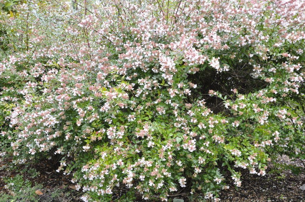 Picture of Live Glossyabelia aka Abelia g. 'Sherwoodii' Shrubs Plant Fit 5 Gallon Pot