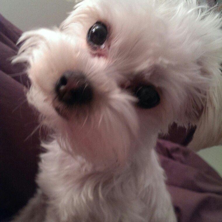 White Morkie Milo Saying Huhhhhhh Teacup Puppies Morkie Puppies