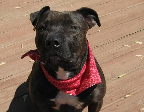 VENUS - Beautiful single female here looking for someone to take me for long leisurely walks and snuggle up together in the evenings.  I'm a people person and would love to show you how sweet I am.  They say I'm around 5 yrs old and weigh about 60 lbs. I'm housetrained & crate trained and like a daily walk.  I pass joggers, bicycles, dogs without any issues but one-on-one other dogs can get on my nerves and cats look a little too tasty, so I'm lookin' for a place where I can be the only pet.
