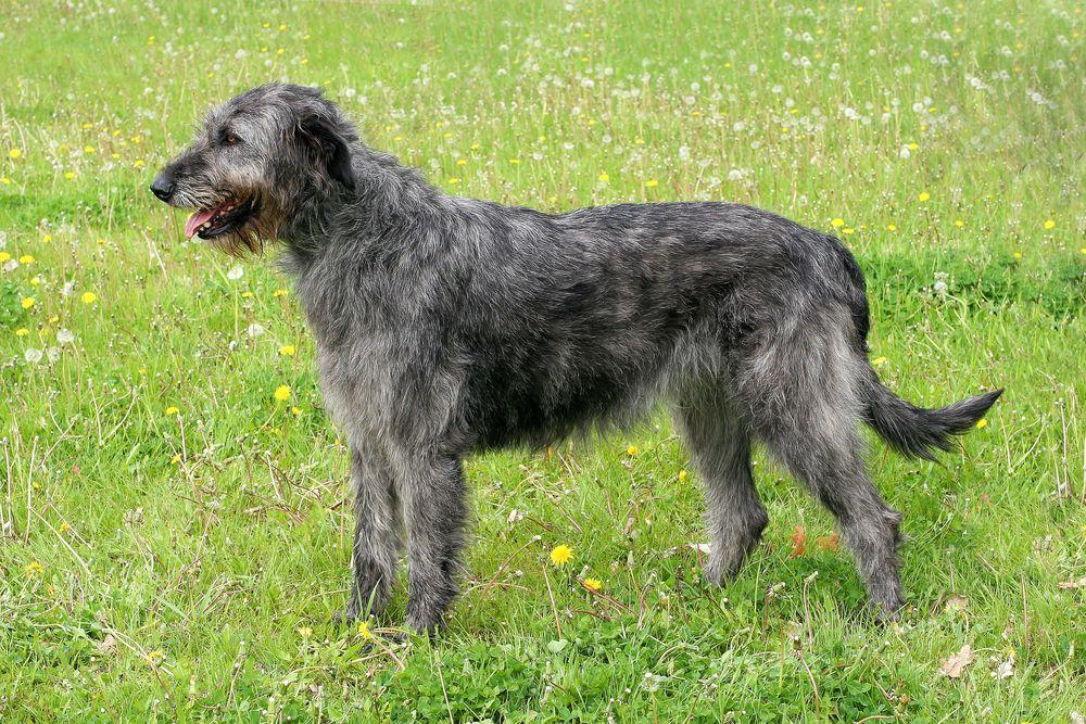 7 Popular Irish Dog Breeds 2 You Ve Probably Never Heard Of Large Dog Breeds Irish Dog Irish Dog Breeds