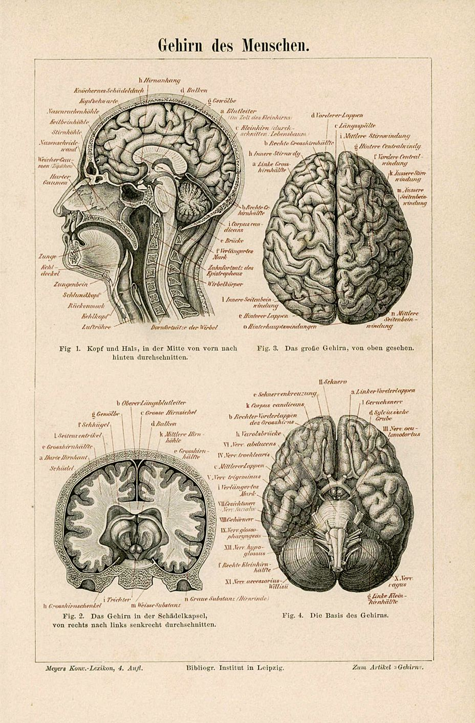 1894 human brains antique anatomy print original skull lithograph ...