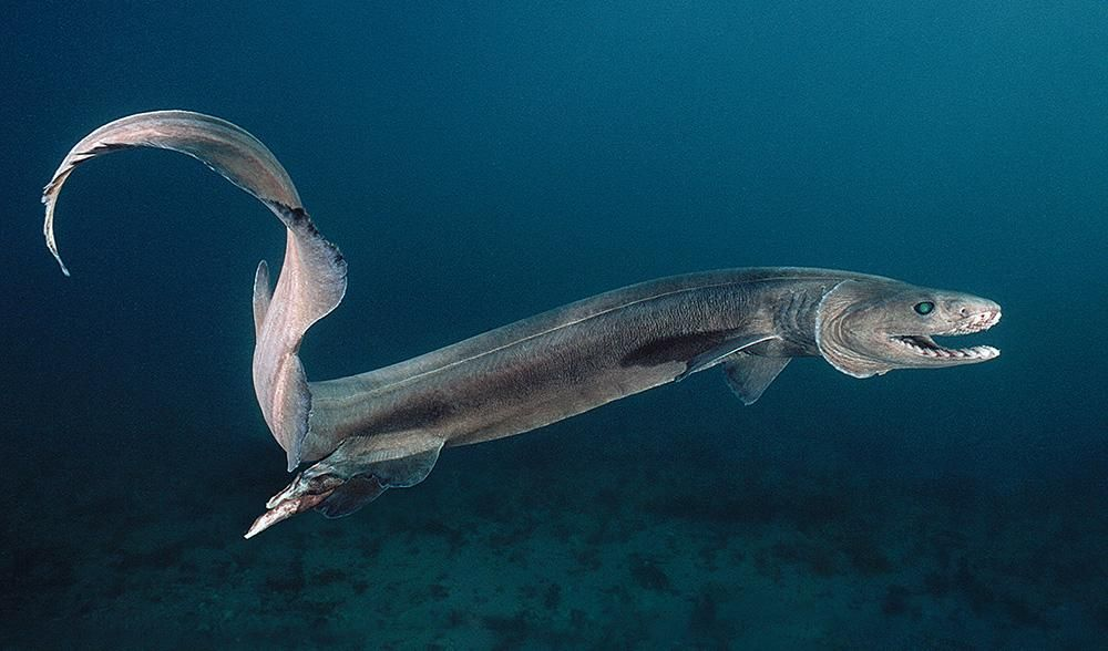 The frilled shark, the species caught by a Victorian fisherman, is part of a lineage dating back 95 million years.
