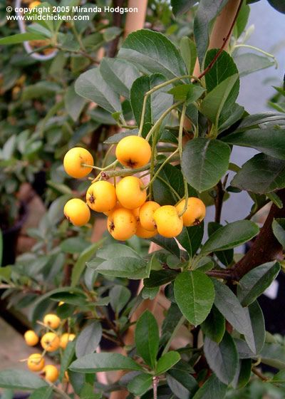 Pyracantha Soleil D Or Botanical Garden Growing
