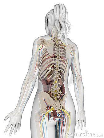 Female anatomy   Anatomy   Pinterest   Anatomy and Illustrations