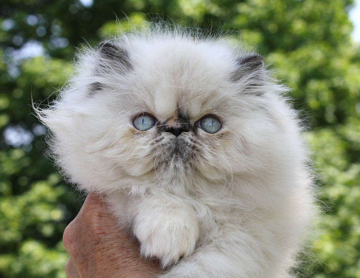 Alfenloch Cotton Candy Tortie Point Female Himalayan Kitten