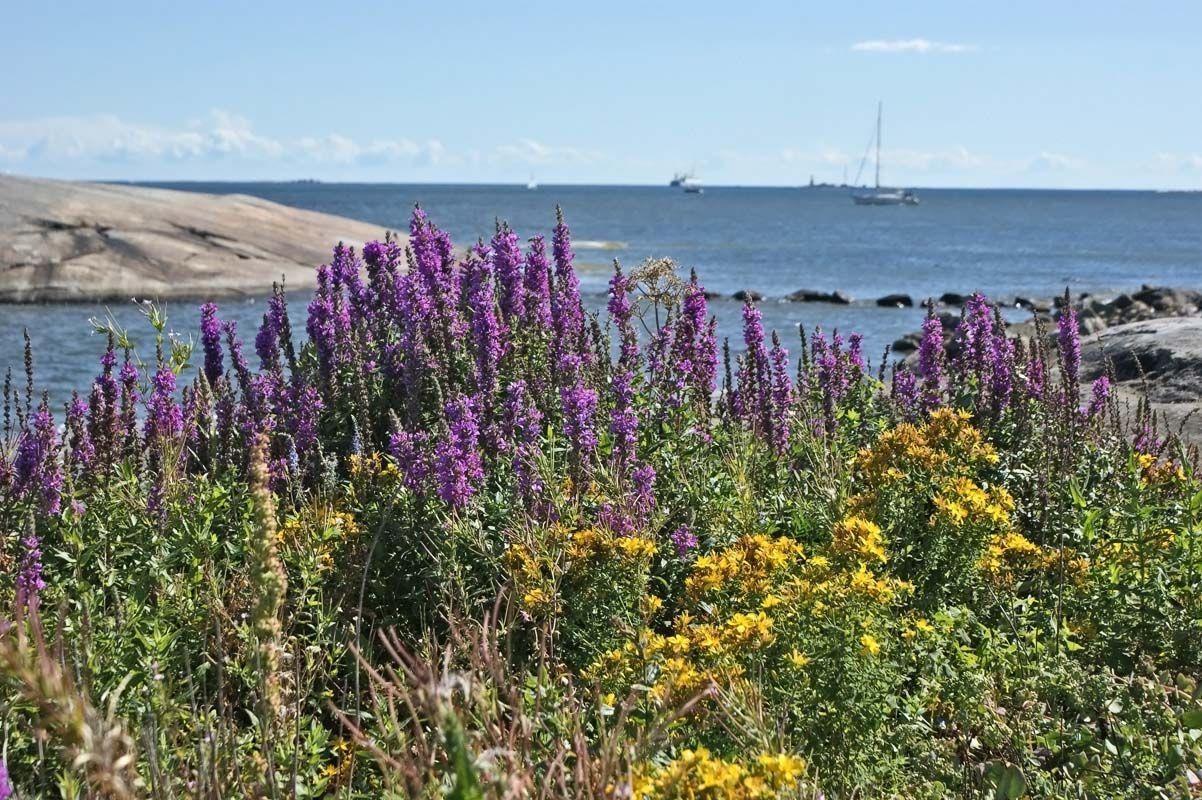 Rantakukka, Lythrum salicaria - Kukkakasvit - LuontoPortti