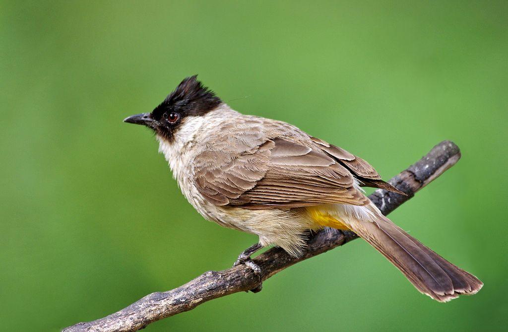 Sooty Headed Bulbul Bulbul List Of Birds Southeast Asia