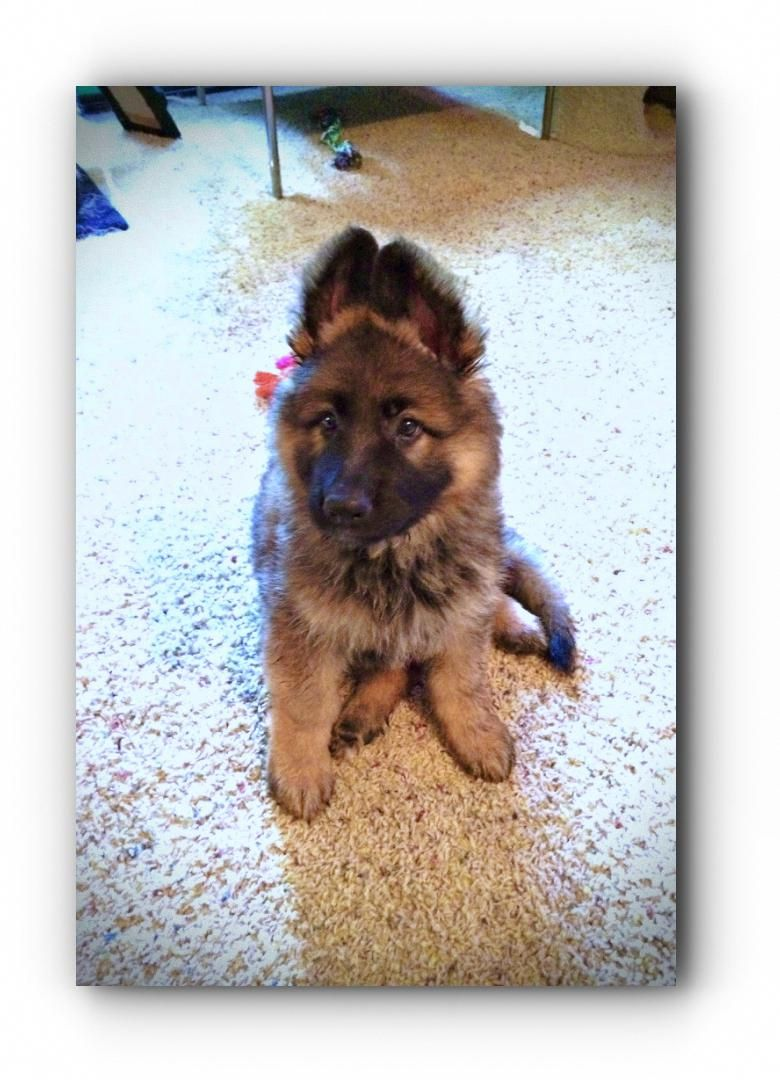 You Need This German Shepherd Rescue Ohio Working German