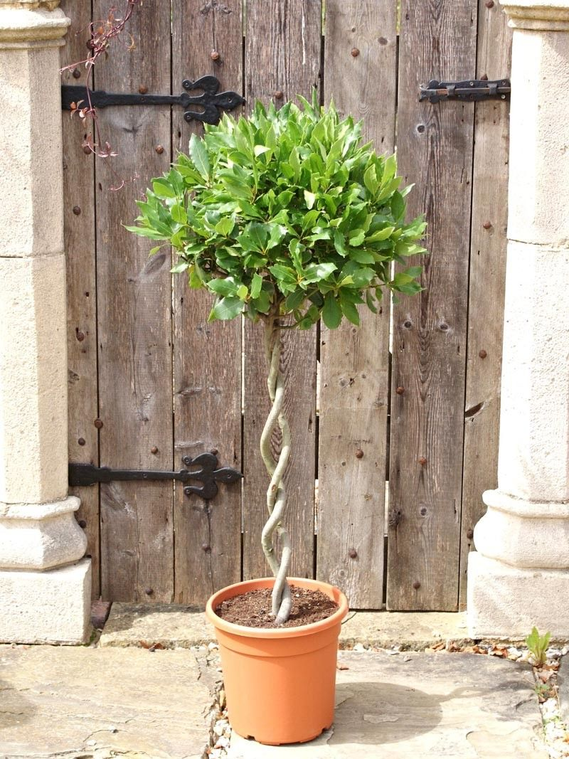Laurus Nobilis Bay Tree 1 2 Standard With Double