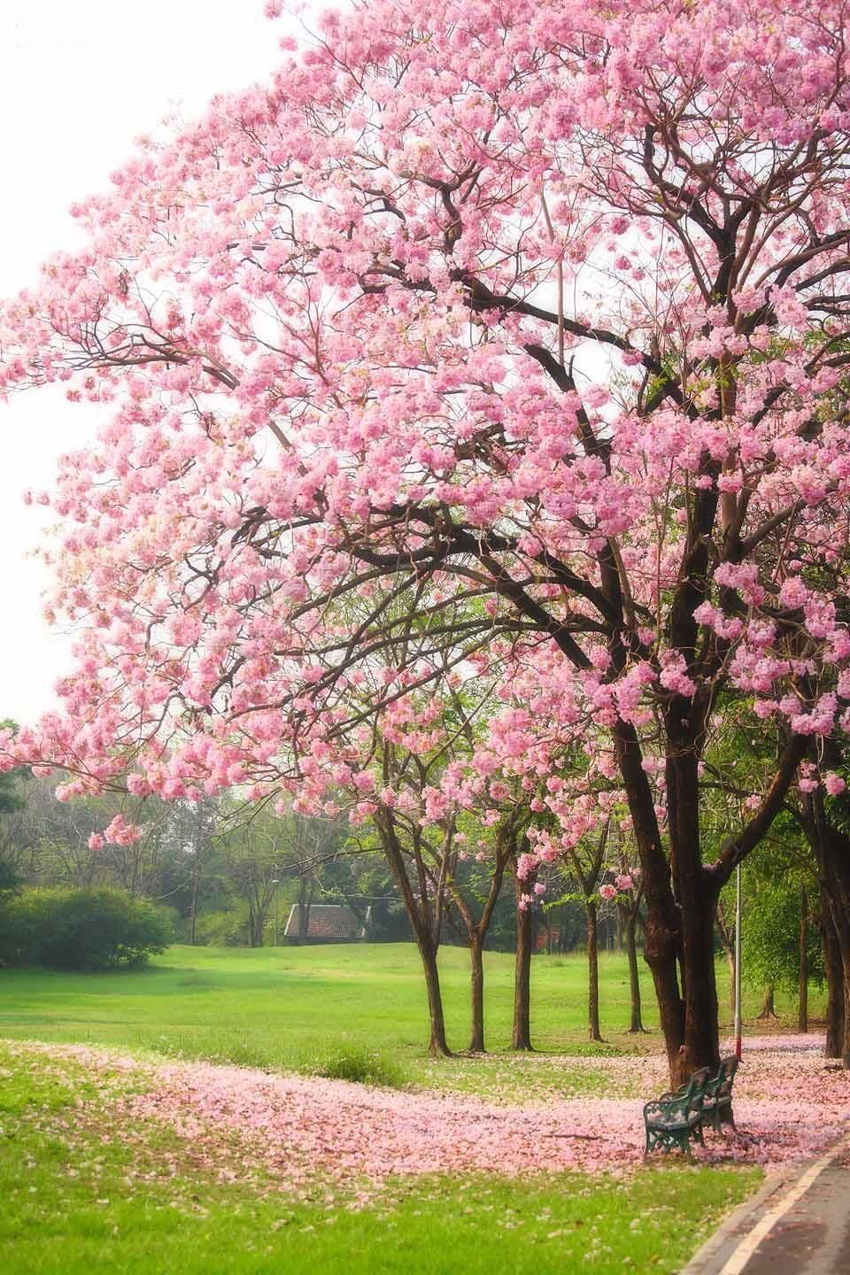 Tabebuia Rosea Stunning Tree I Planted One Of These In My Backyard A Few Years Ago First Flowers Last Year Garden Vines Flowering Trees Garden Shrubs