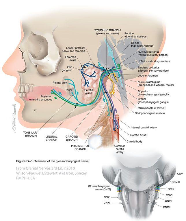 Glossopharyngeal IX - Cranial Nerves | pares craneales | Pinterest ...