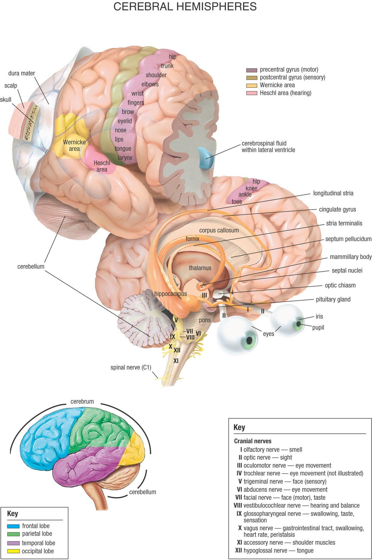 05_Cerebral_Hemispheres.jpg 1,239×1,865 pixels | Nursing | Pinterest ...
