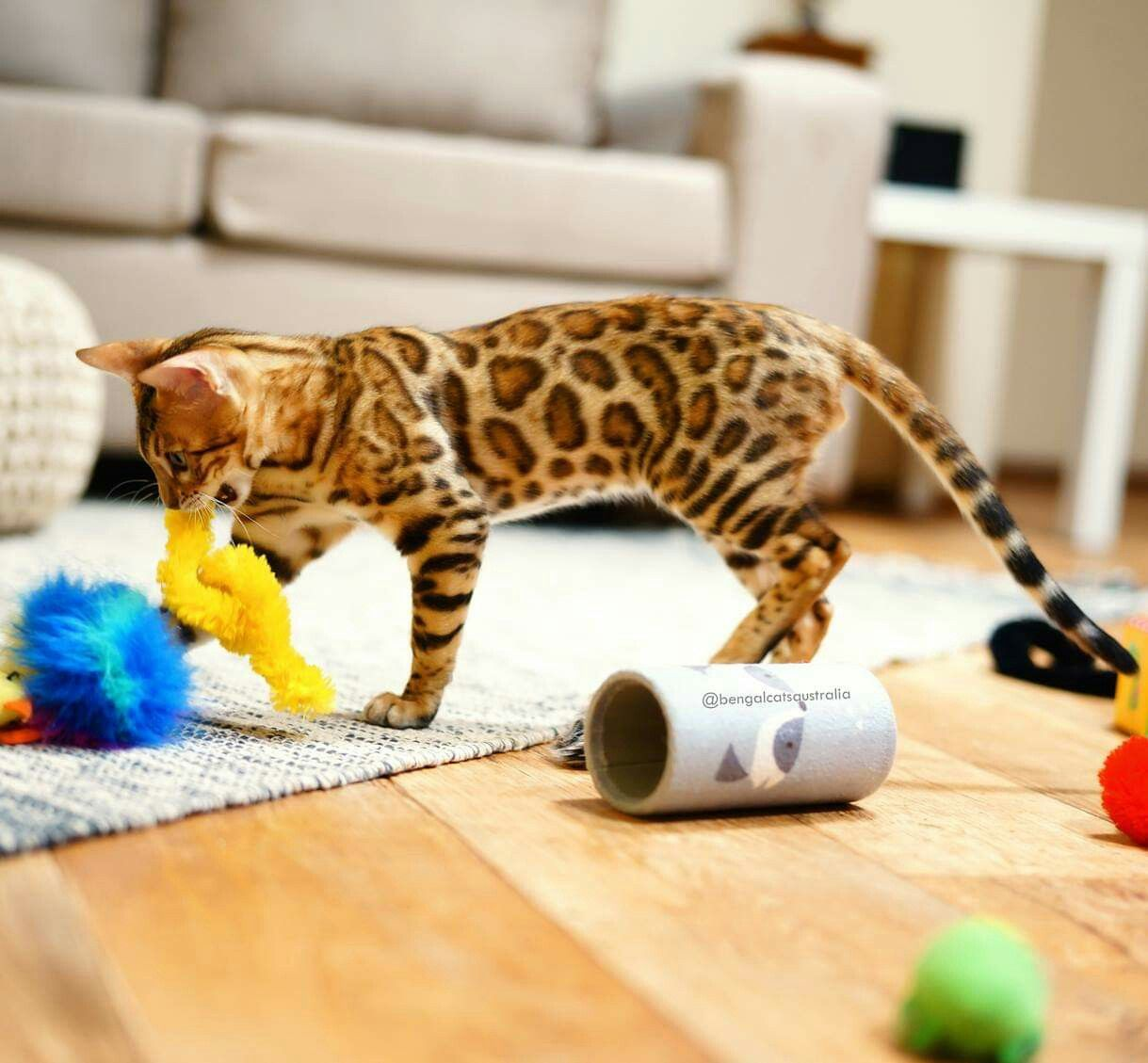 Bengal Cats Australia Breeding Bengal Cats Since 2009 We Hope You Enjoy The Beauty Of Our Special Cats As Much Bengal Kitten Bengal Cat Bengal Cat Breeders
