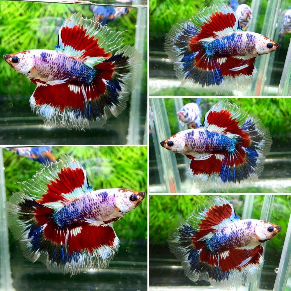 FANCY !!!DT-Male!!! | Beautiful Betta Fish | Pinterest | Betta and ...