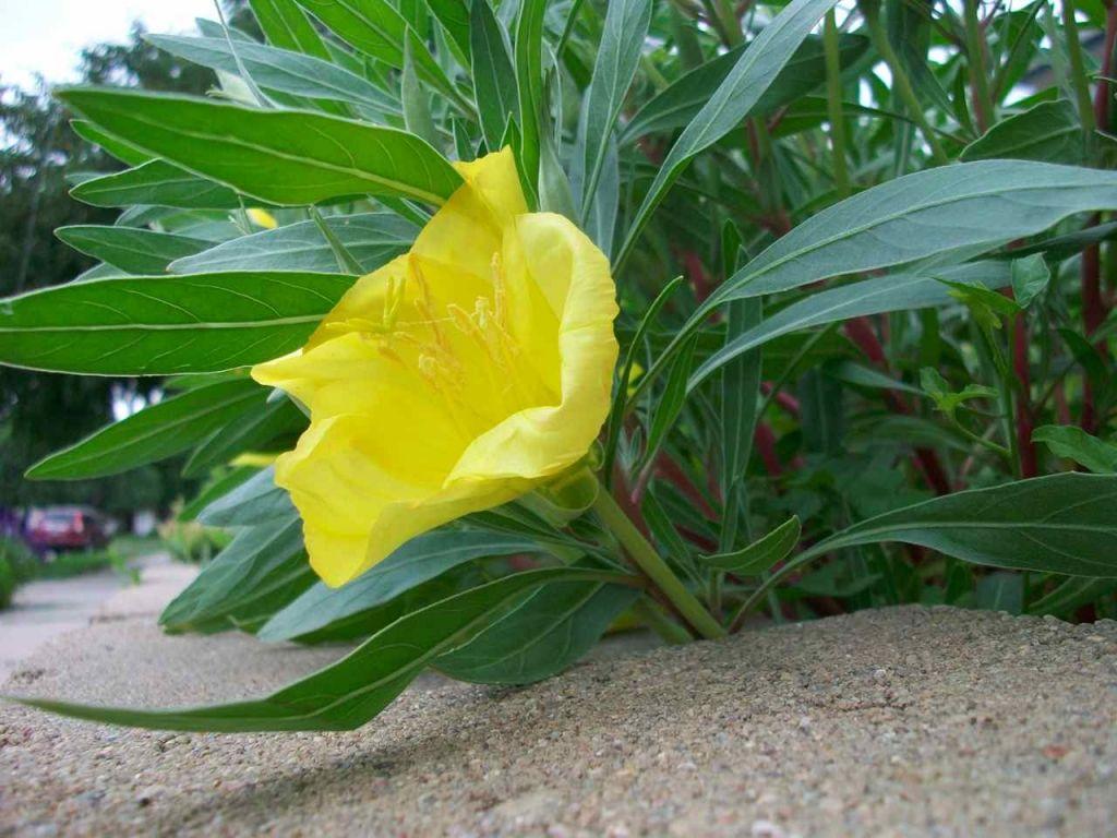 Missouri Primrose in Bloom | Garden Guides