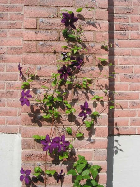 Wall trellis using fishing line suction hooks silicone - How to fish wire through exterior wall ...
