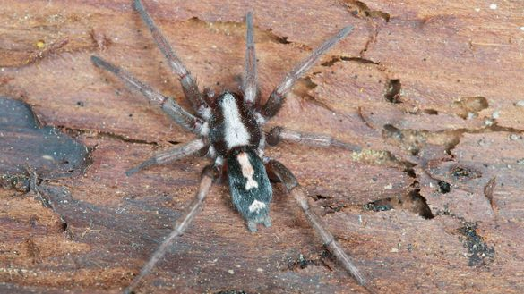 Eastern Parson Spider Herpyllus Ecclesiasticus Spiders