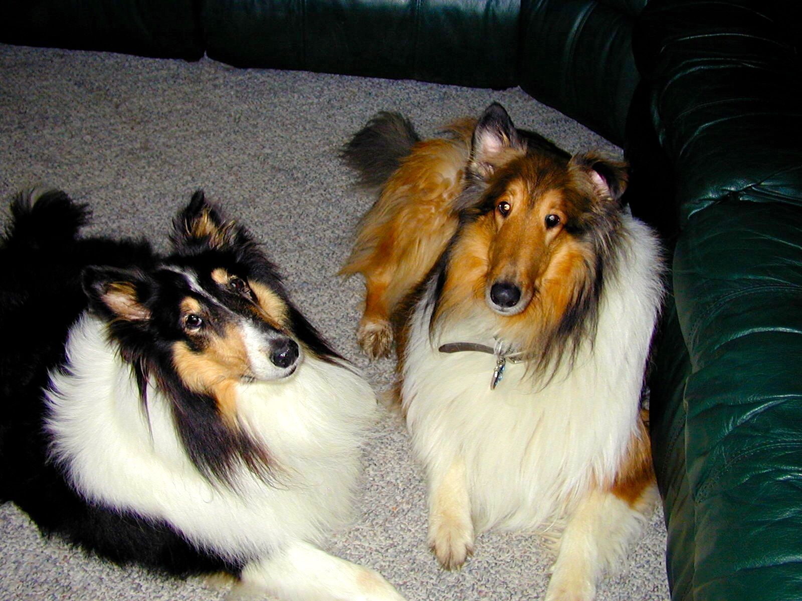 Jasmine S Our First Rescue Collie First Day In Her Forever Home With Her New Brother Chase Rough Collie Dogs Collie