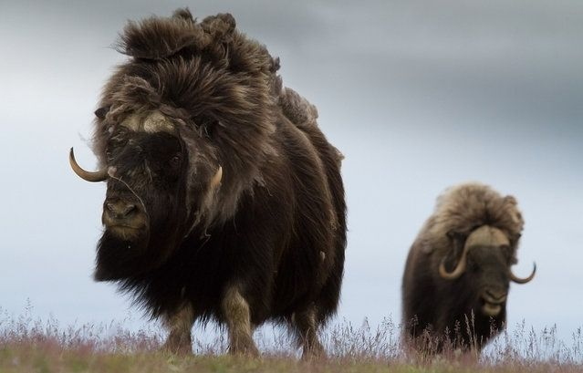 Musk Ox Arctic Animals   muskoxen primarily live in the canadian arctic and greenland with .