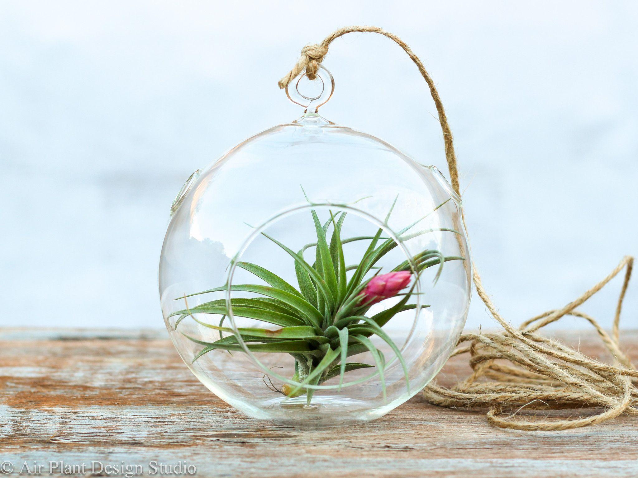 Aeranthos simplicity air plant terrarium kit - Kit terrarium plante ...