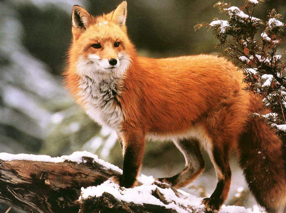 Download Animal Fox Winter HD HD Wallpapers Animals