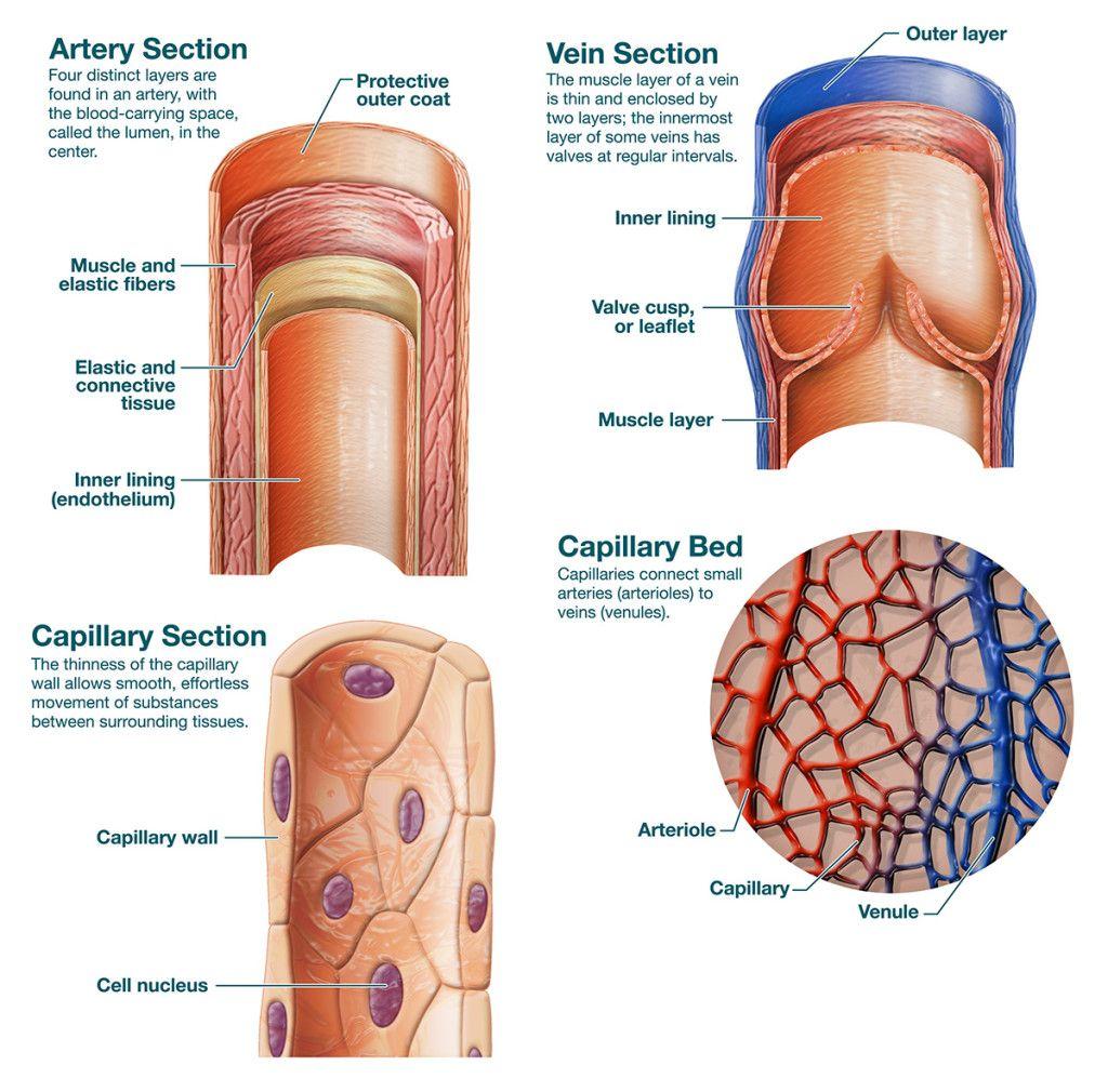 medical_veins-arteries-capillaries | Body systems, Blood ...