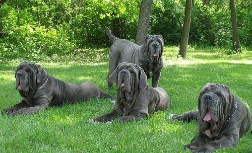 Top 12  Biggest Dog Breeds In The World