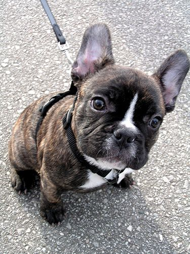 French Bulldog Puppy Baby Dogs French Bulldog Puppies Brindle