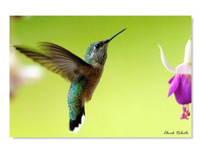 """The Broad-tailed hummingbird, """"The Mountain Hummingbird"""", has many unique features.In our opinion, it is one of the easiet to identify."""