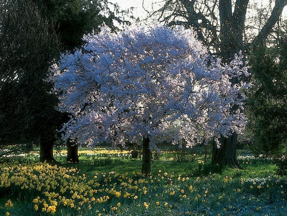 Landscape Design The Most Eye Catching Plants Ornamental Cherry Yoshino Cherry Tree Landscaping Plants