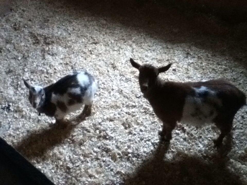 My Nigerian Dwarf Goats!