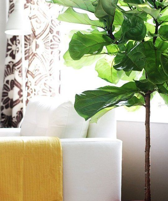 fiddle leaf figs the best indoor gardens finish with greenery pinterest. Black Bedroom Furniture Sets. Home Design Ideas