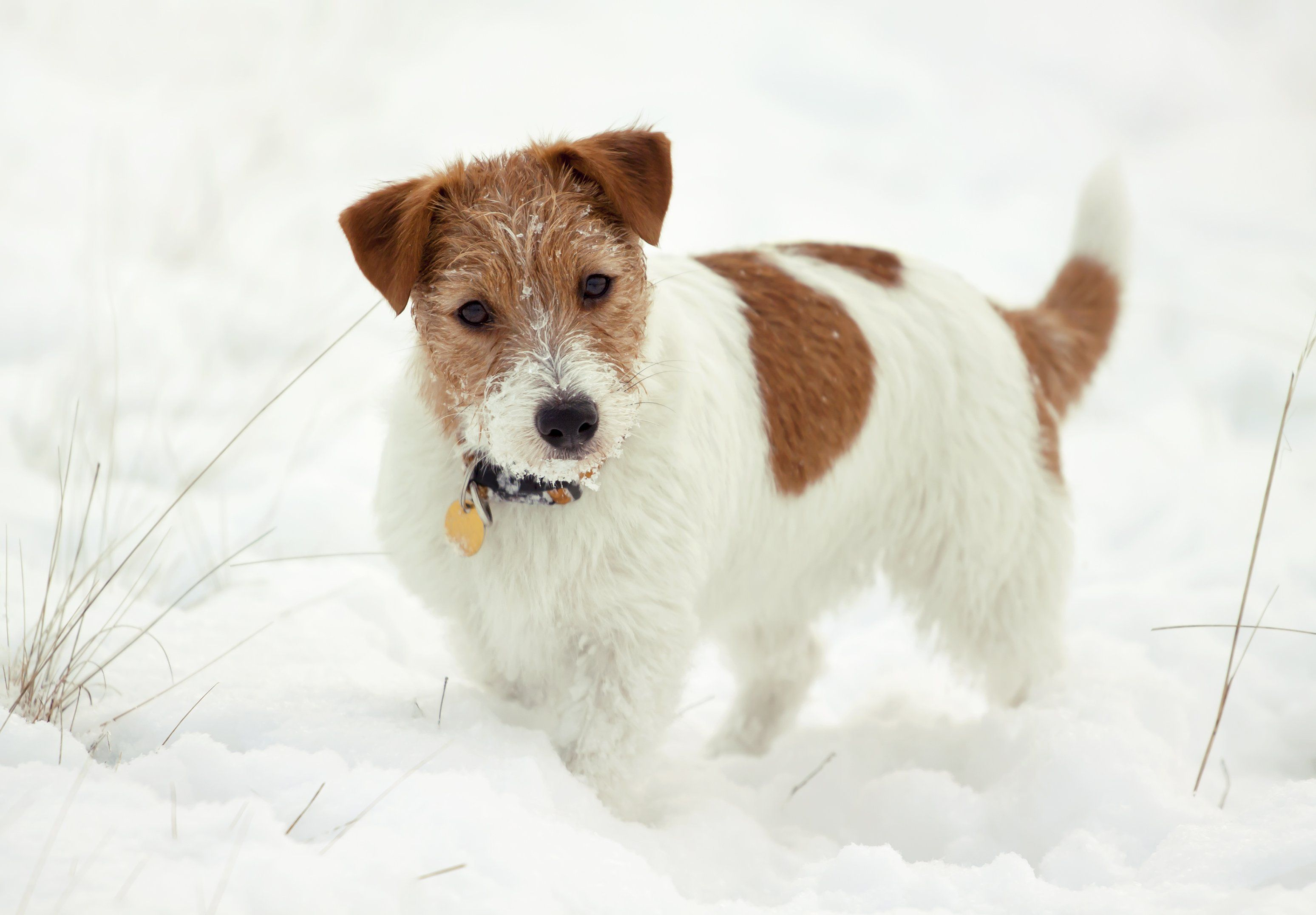 Jack Russell Terrier Puppies Pictures And Facts Terrier