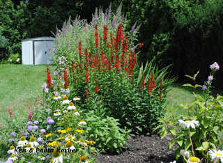 This Cardinal Flower Garden ( A Native Wildflower In Ohio, USA) Is Very  Popular With Hummingbirds And Butterflies. Suburb West Of Cleveland , Ohio.