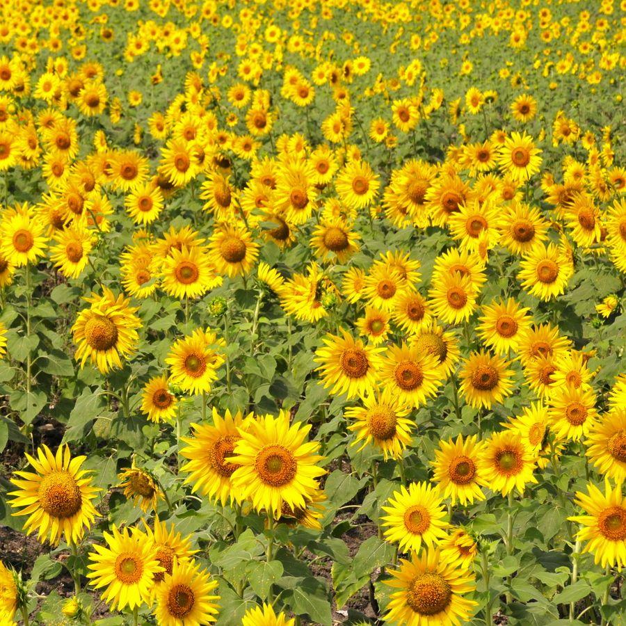 Sunflowers   Hermes S