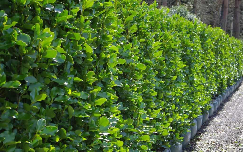 Griselinia Littoralis Hedging Plants Perfect For Coastal