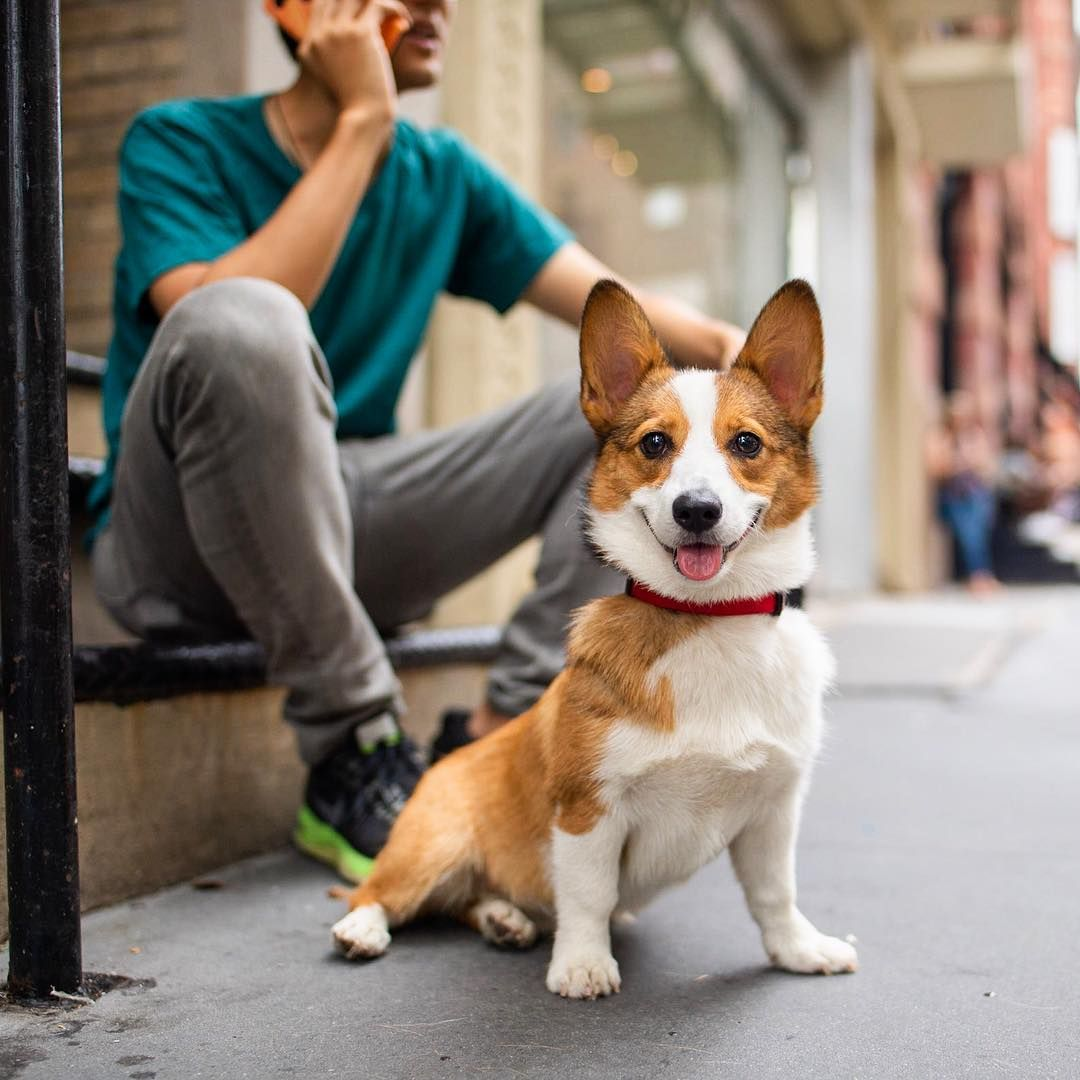 The Dogist On Instagram Tofu Pembroke Welsh Corgi 10 M O