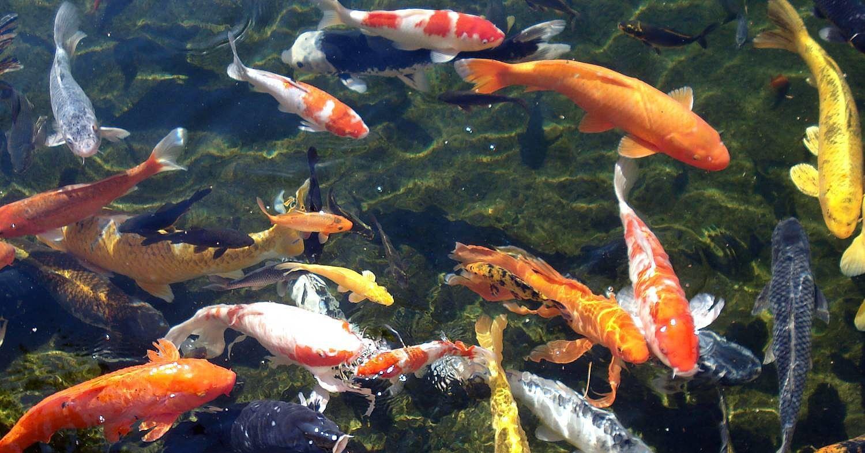 Koi Pond Japanese Garden Koi Wallpaper Fish Wallpaper Live Wallpaper For Pc