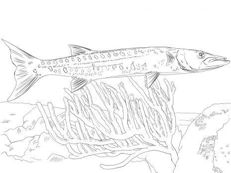 Great Barracuda Fish Coloring Page Free Printable Coloring