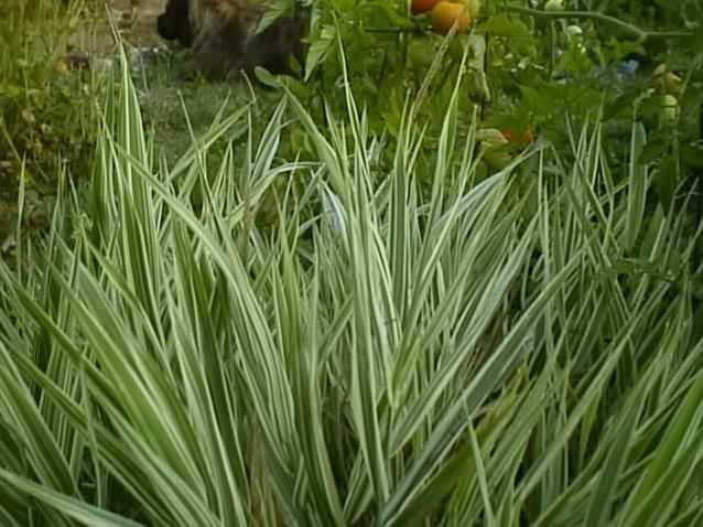 Types Of Ornamental Grasses For Landscaping A ribbon grass plant growing in the garden phalaris arundinacea a ribbon grass plant growing in the garden phalaris arundinacea workwithnaturefo
