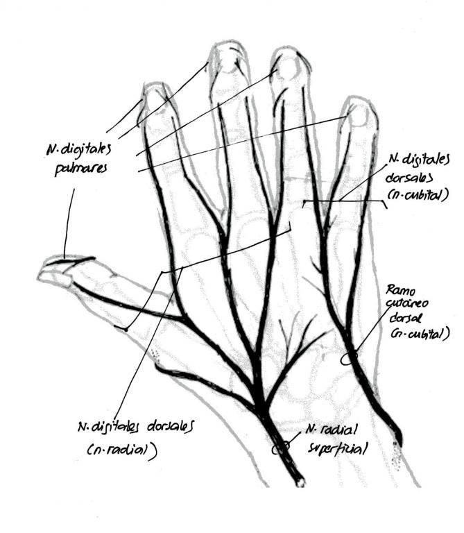 Recorrido nervios dorso de la mano_0.jpg (669×768) | anatomia ...