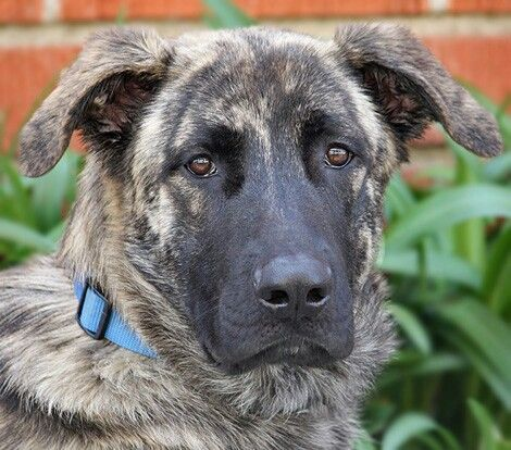 Great Dane German Shepherd Mix Dane Mix Great Dane Mix Hybrid Dogs