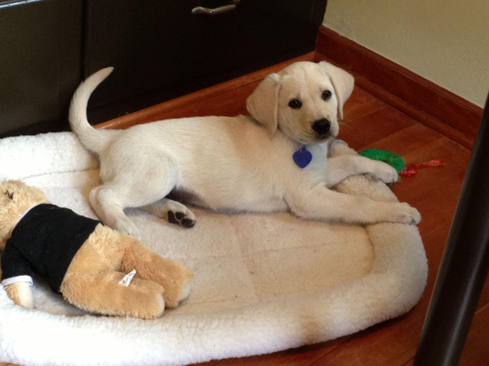 When A Lab Pups Tail Curls Upward Mayhem Is Soon To Follow Lab