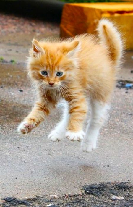 Great golden kitten soon a cat, You sprang to catch my coats one dangling thread, And somehow land entangled in my heart. ~ Lida Brodhurst