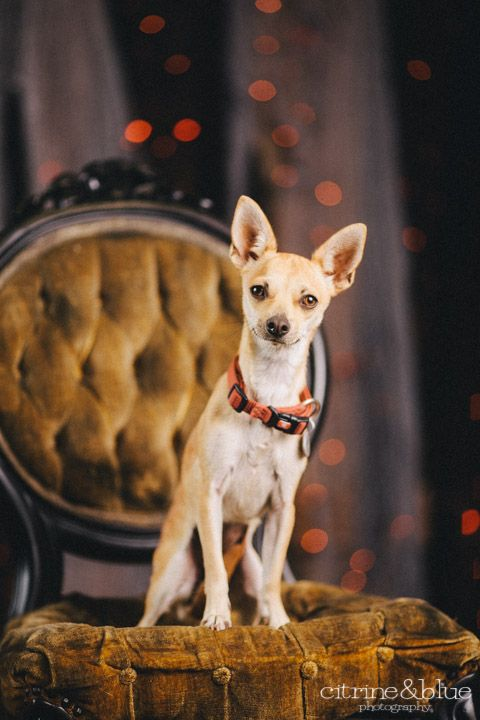 Adopt Turtle on Chihuahua love, Chihuahua, Dogs