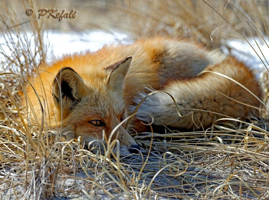 Red fox, laying low
