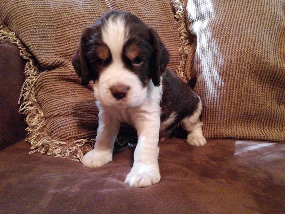 English Springer Spaniel Puppy Love Www Facebook Com Sunshinespringers Dogs Springer Spaniel Puppies Spaniel Puppies Springer Spaniel