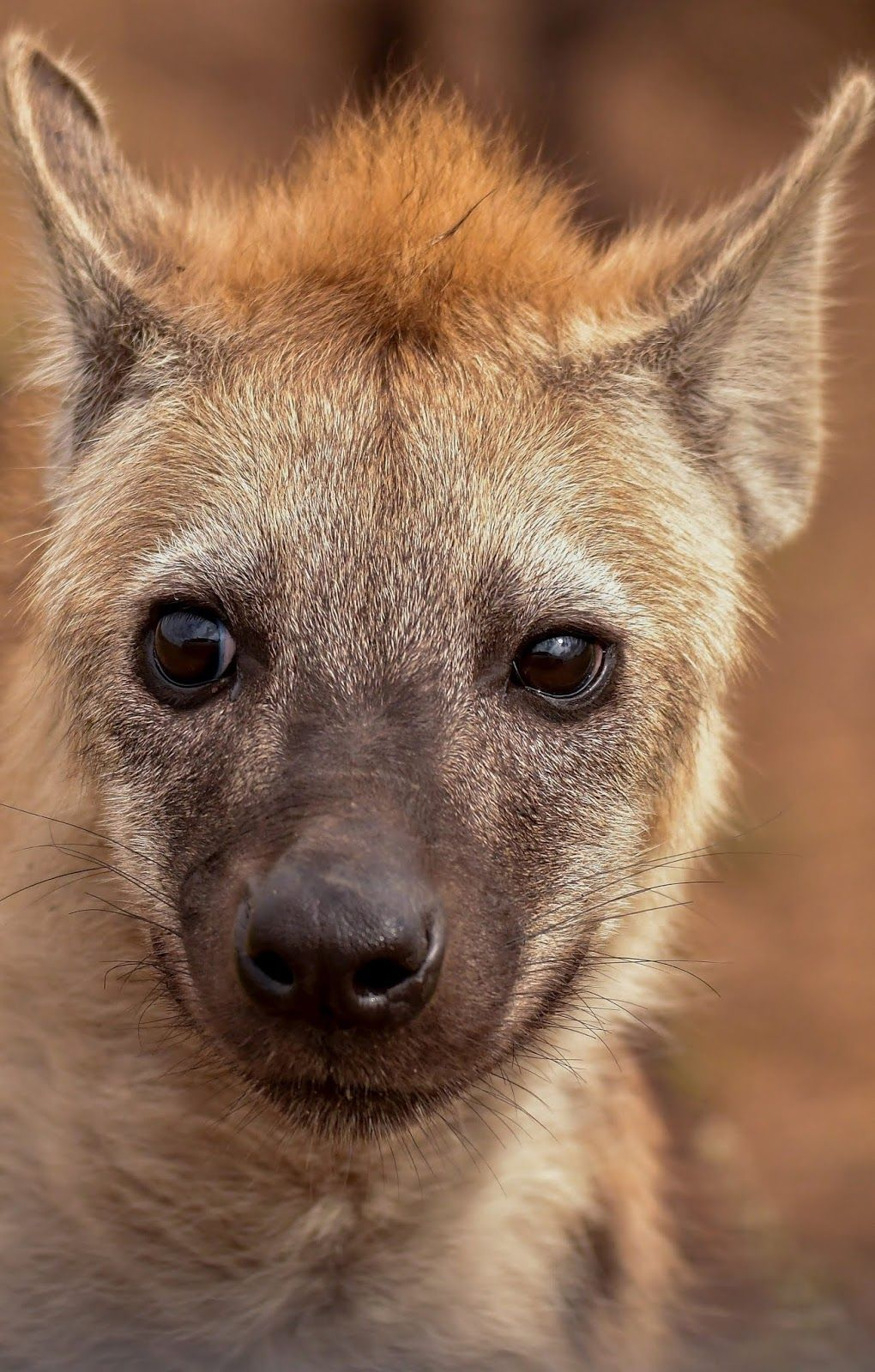A young hyena (With images) Hyena animal, Animals, Baby